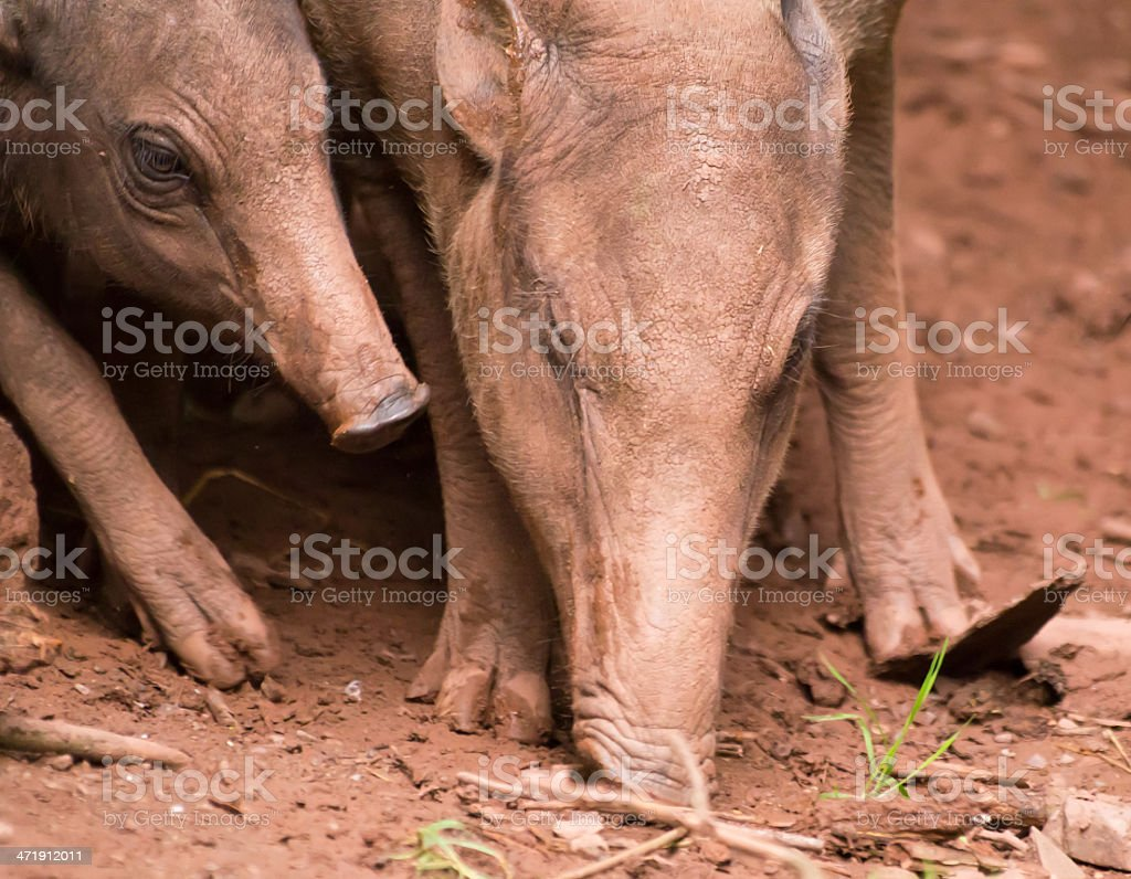 Babirusa female and piglet royalty-free stock photo