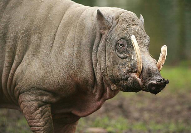 babirusa - pig ugly stock-fotos und bilder