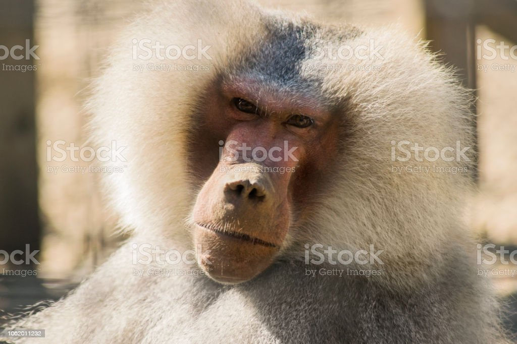 Baboom Closeup. Monkey in nature stock photo