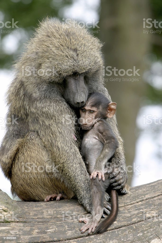 Baboon and child royalty-free stock photo