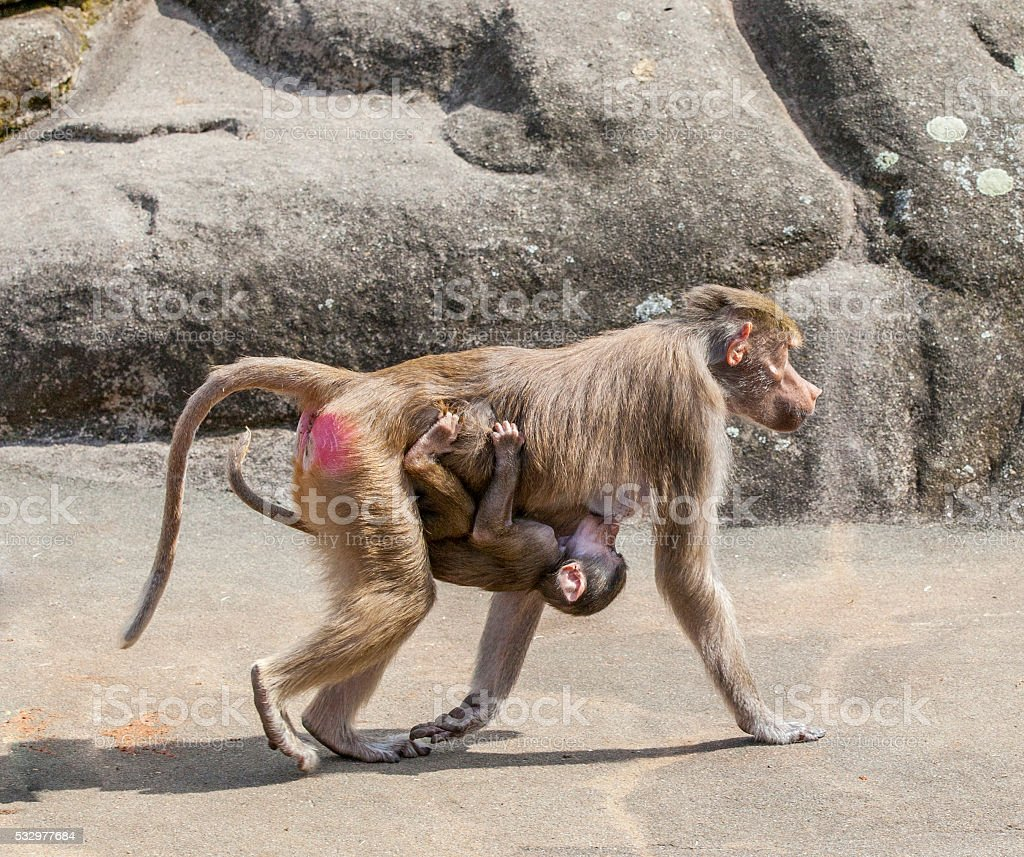 baboon carrying his child stock photo