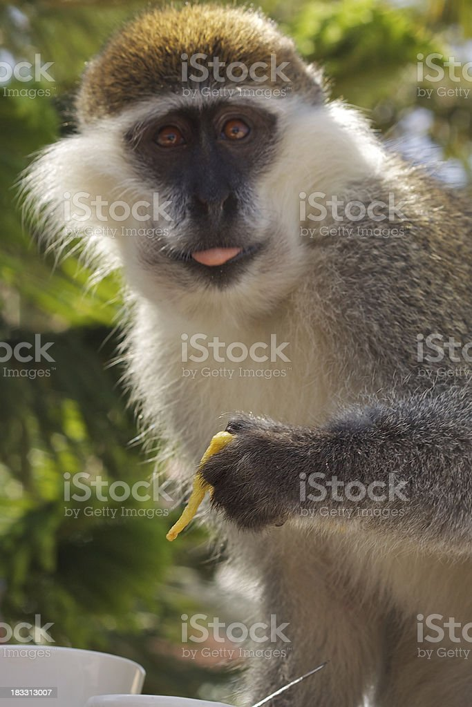Baboon eating French fries. royalty-free stock photo
