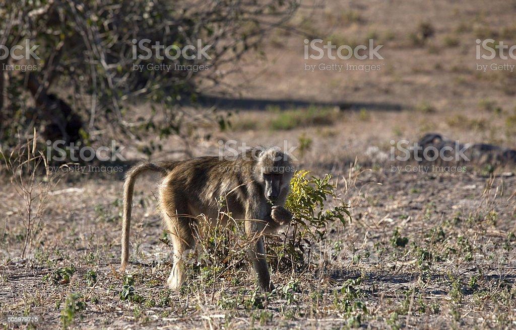 Baboon eating stock photo