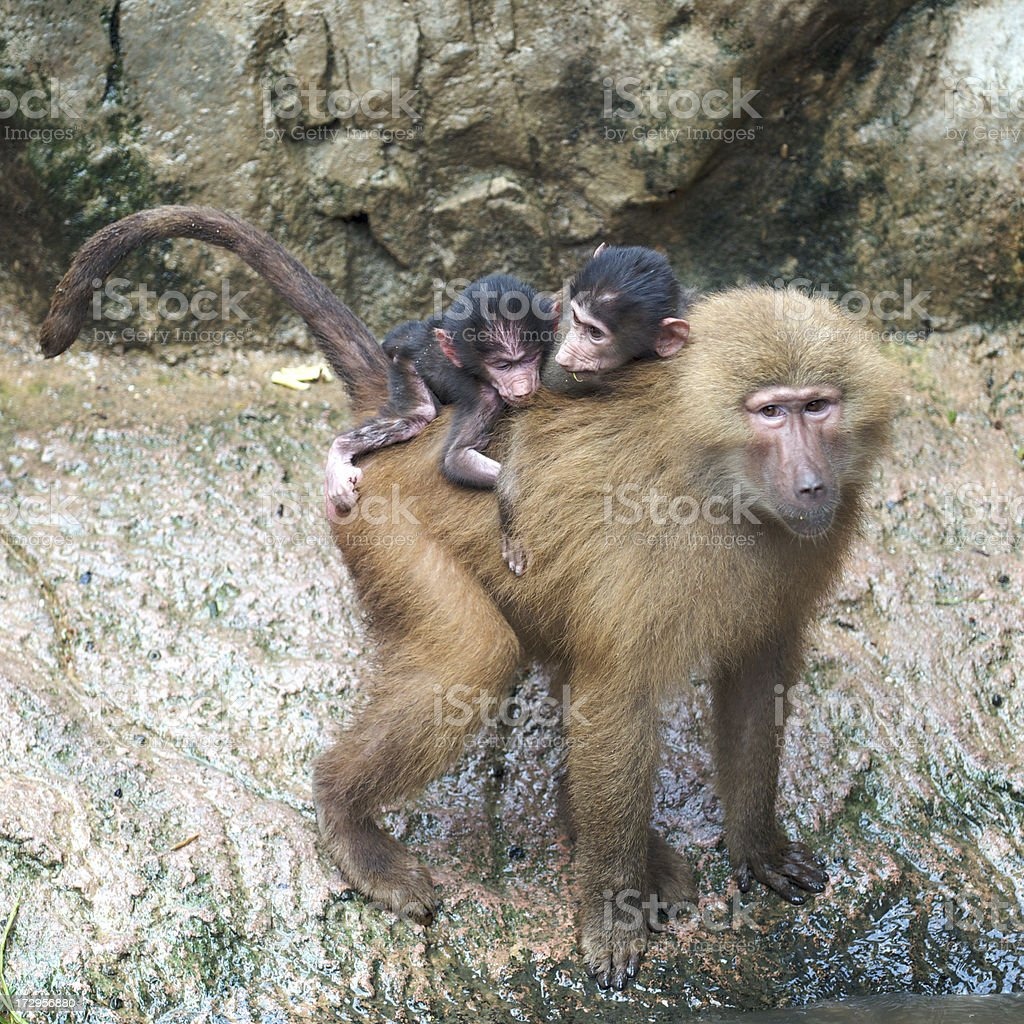 Baboon Family royalty-free stock photo