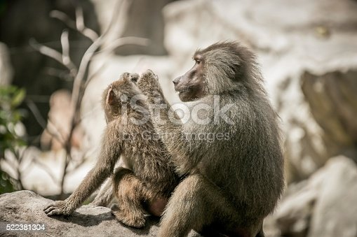 baboon family grooming eachother