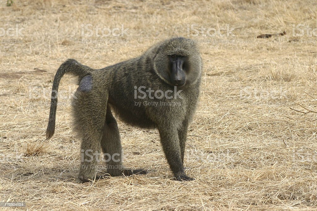 Baboon III stock photo