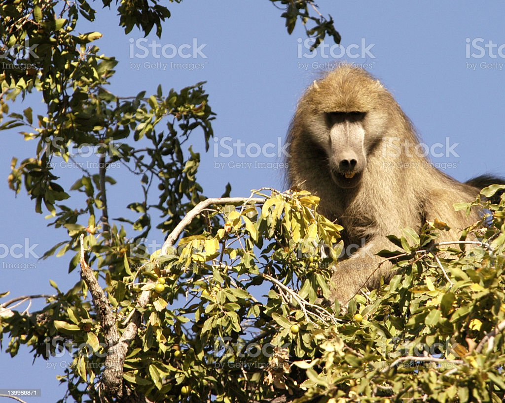 Baboon in a tree royalty-free stock photo
