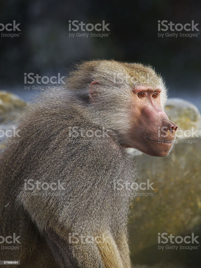 Baboon in the early evening sun royalty-free stock photo