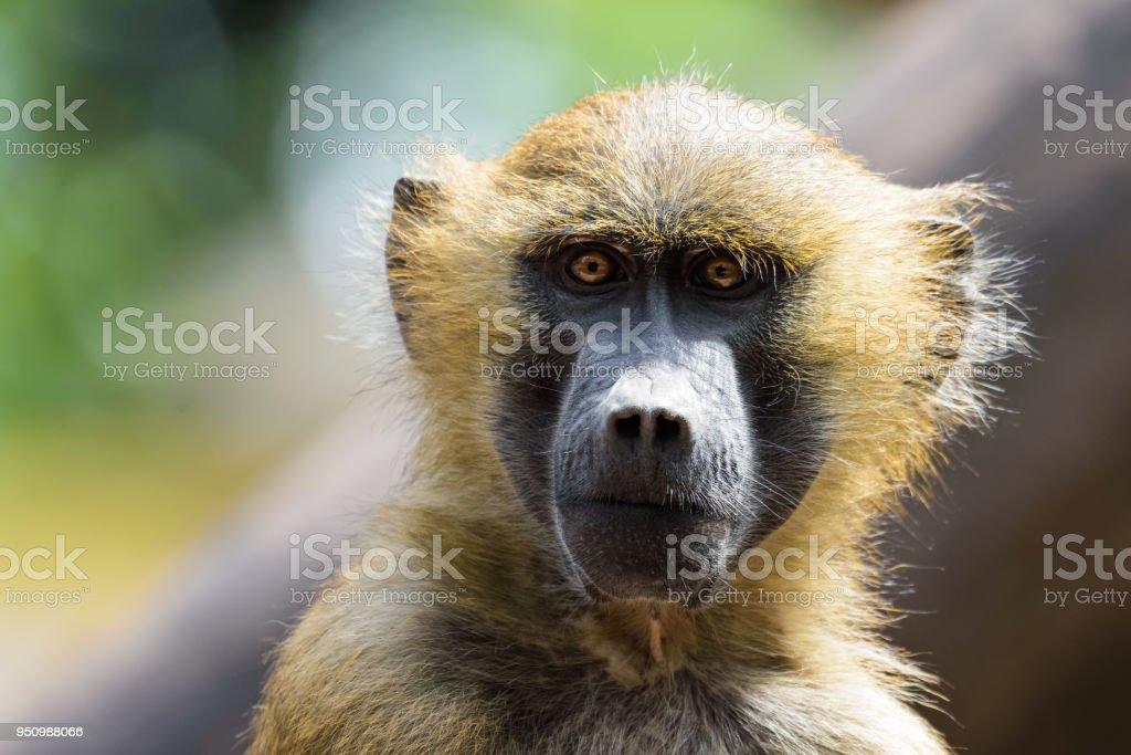 Baboon looking at the camera stock photo