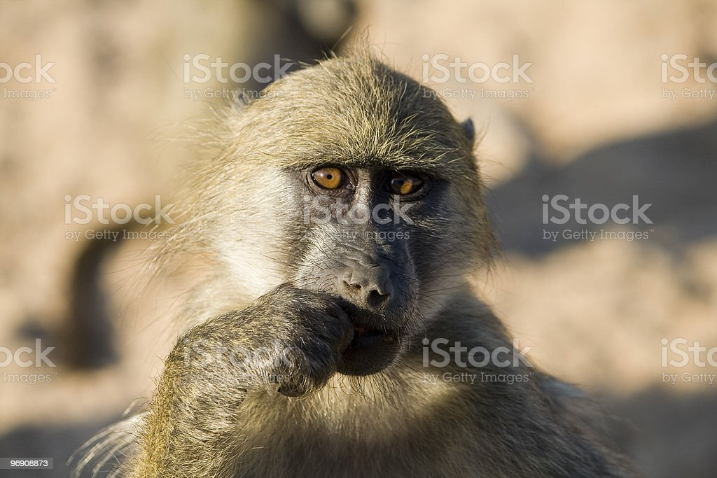 Baboon Looking You in the Eye royalty-free stock photo