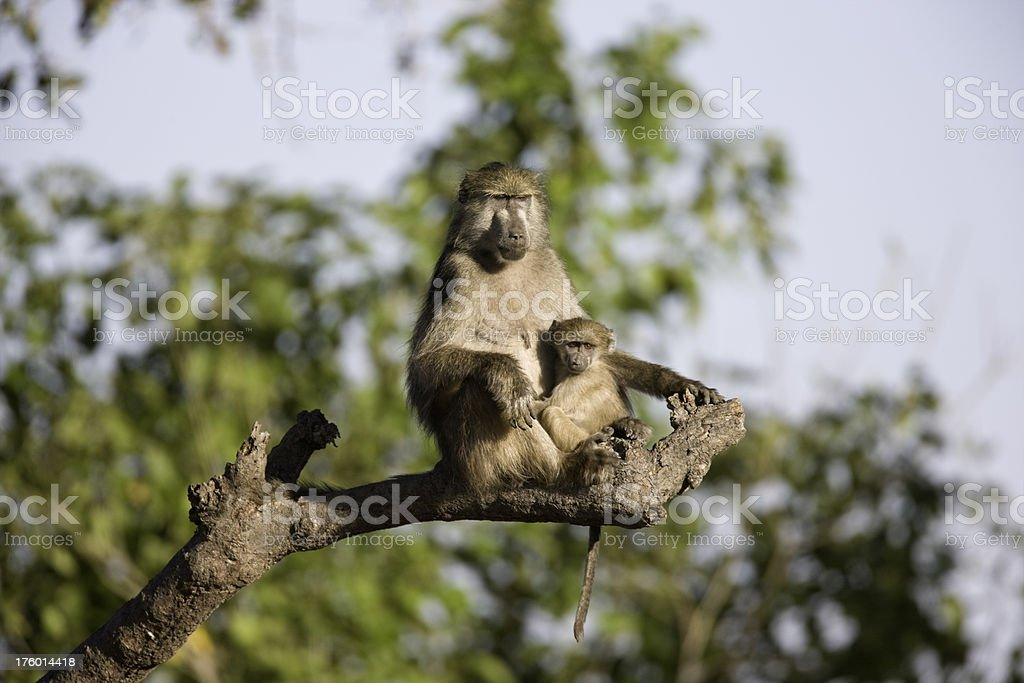 Baboon Mother and Child stock photo