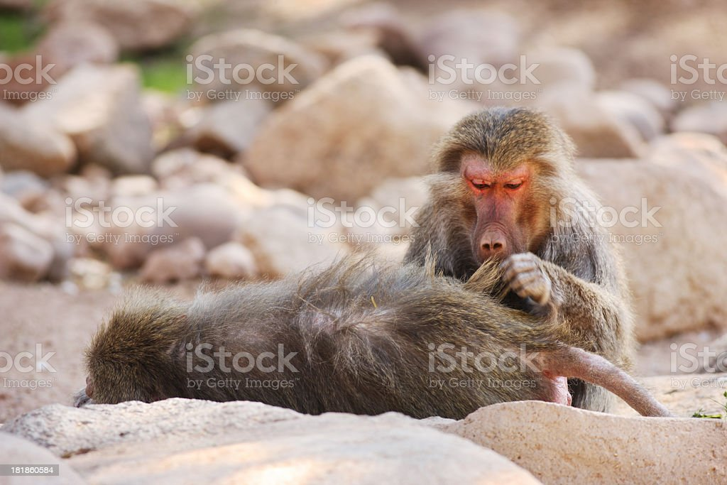 Baboon Papio Hamadryas Primate Monkey royalty-free stock photo