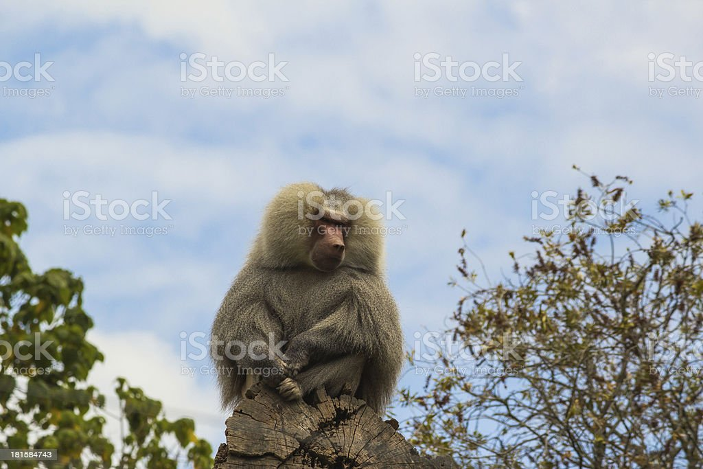 Baboon perched on a log royalty-free stock photo