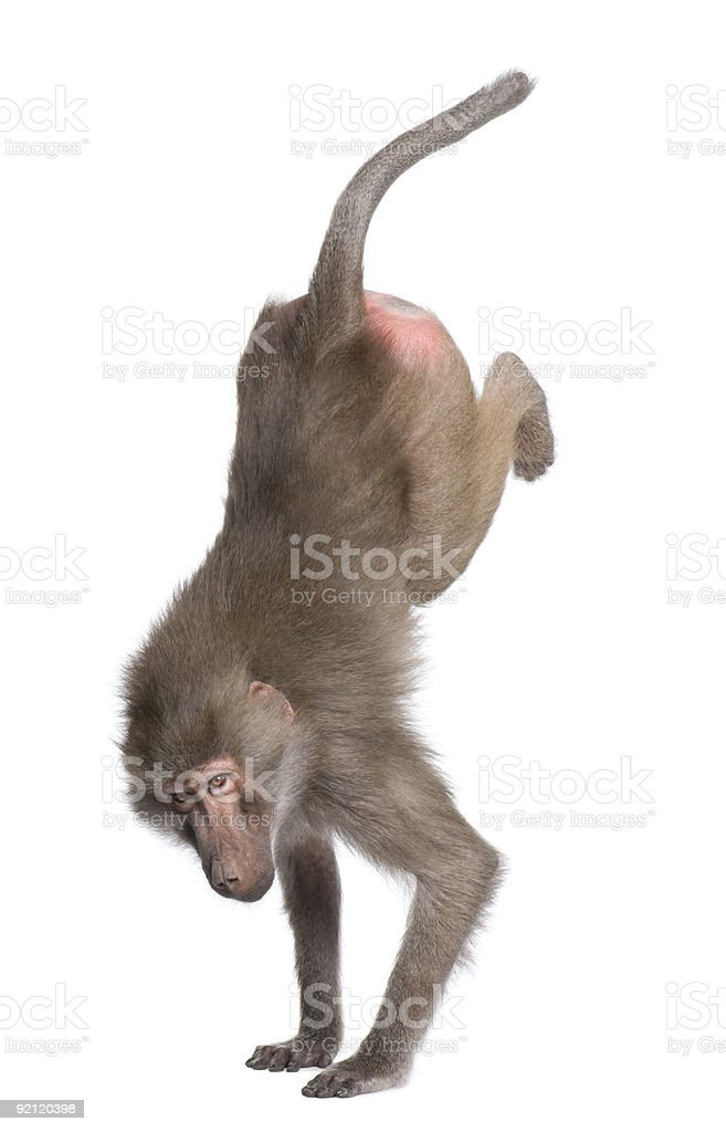 Baboon performing a hand stand -  Simia hamadryas stock photo