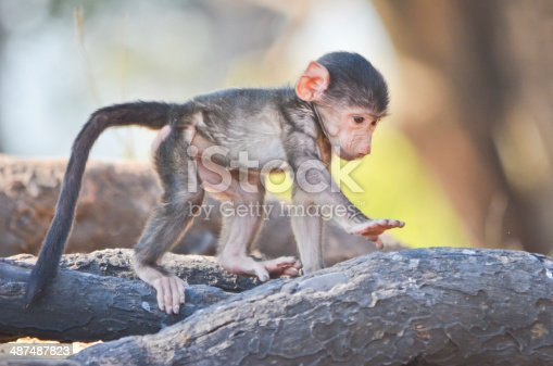 Baby baboon playing near its mother