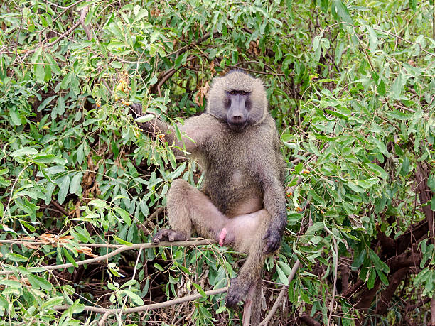 baboon - monkey stock photos and pictures
