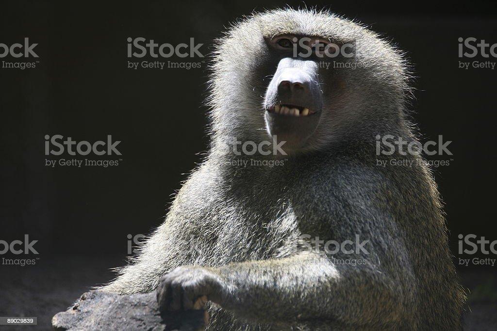 Baboon 免版稅 stock photo