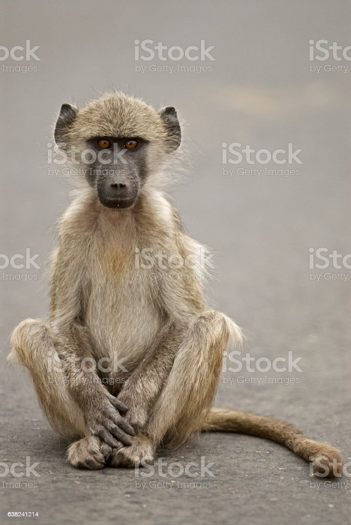 baboon portrait stock photo