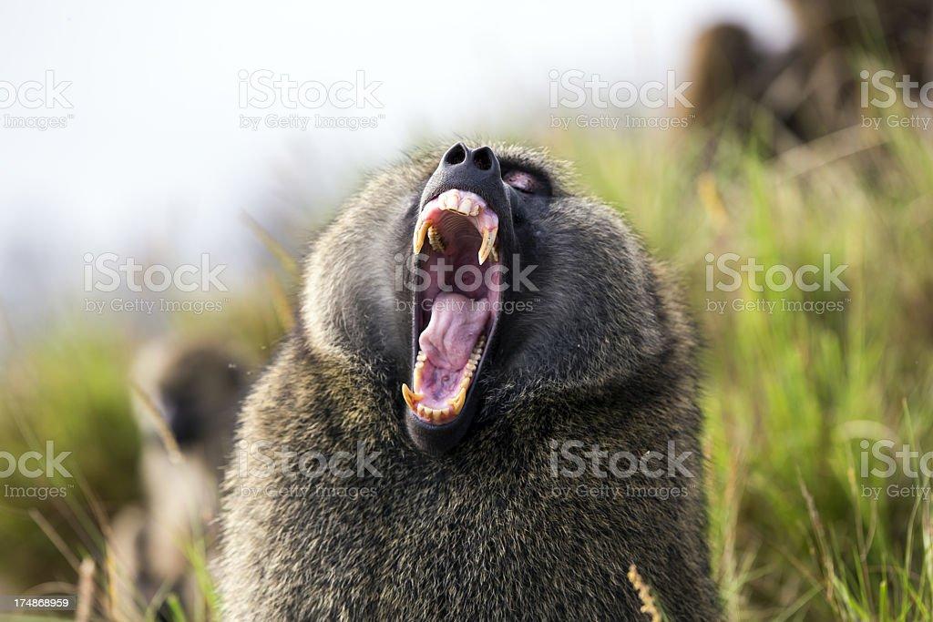 Baboon showing teeth stock photo