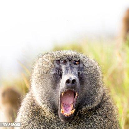 Baboon showing teeth in lake Nakuru at Kenya