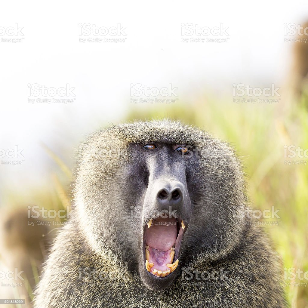 Baboon showing teeth stock photo