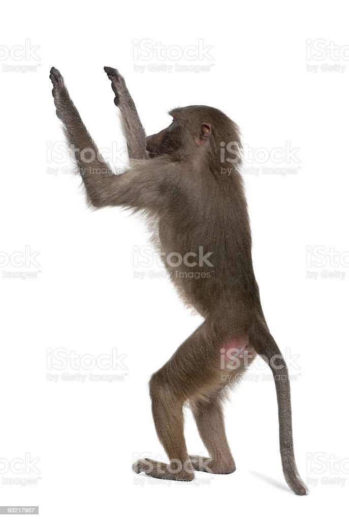 Baboon - Simia hamadryas stock photo