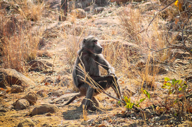 Baboon sitting on a rock on the savannah stock photo
