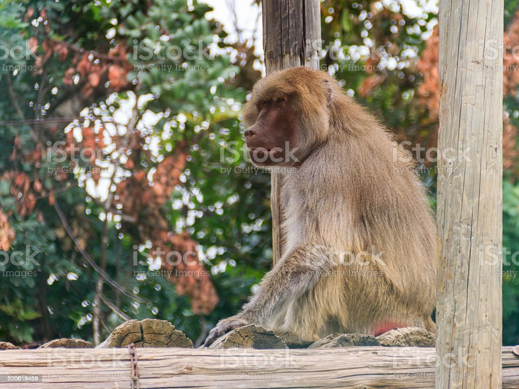 baboon sitting on logs stock photo
