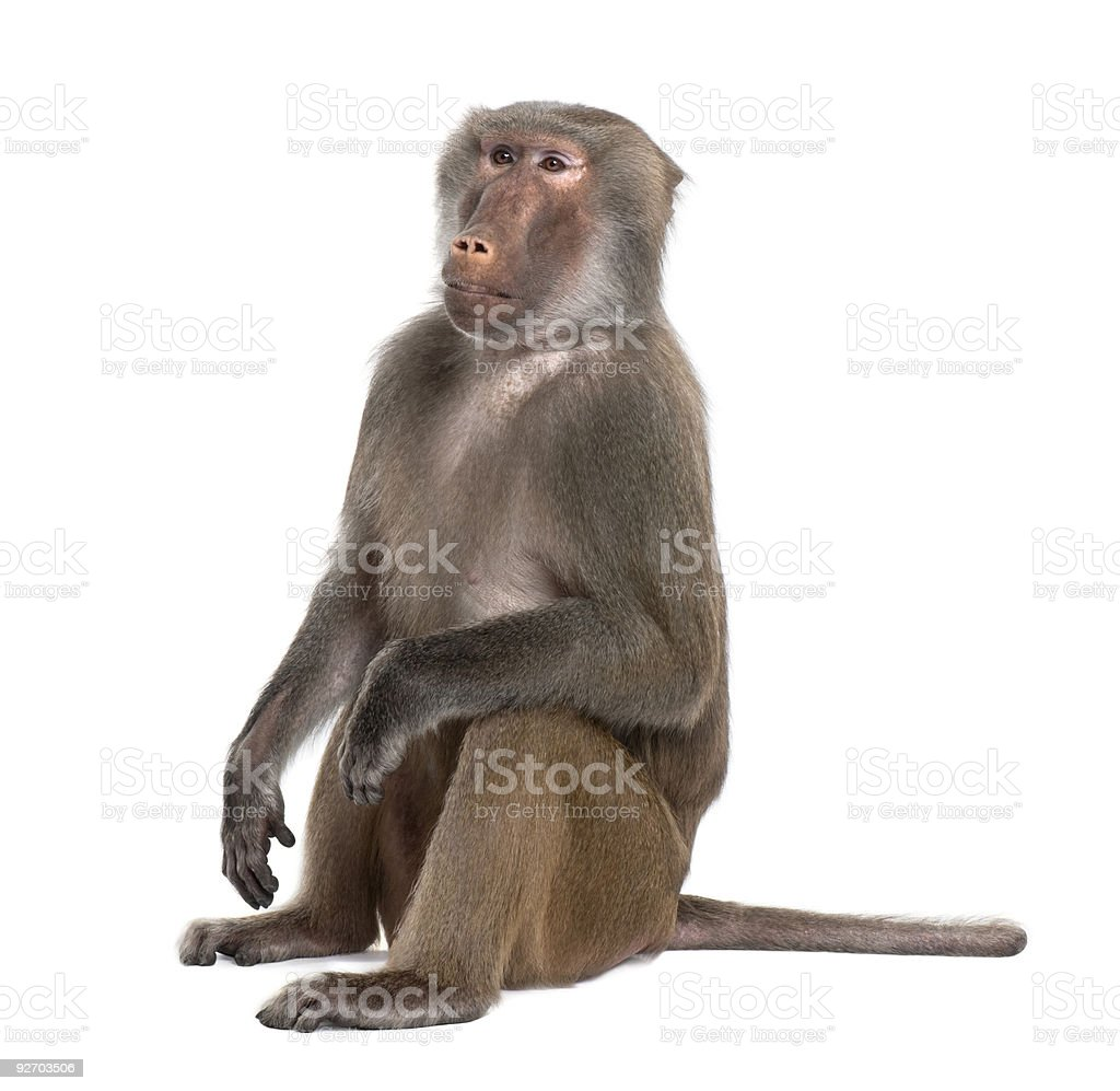 Baboon sitting- Simia hamadryas stock photo