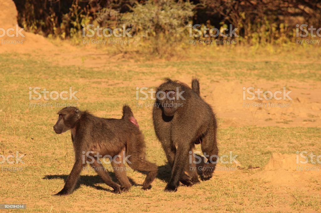 Baboon Troop Dynamics stock photo