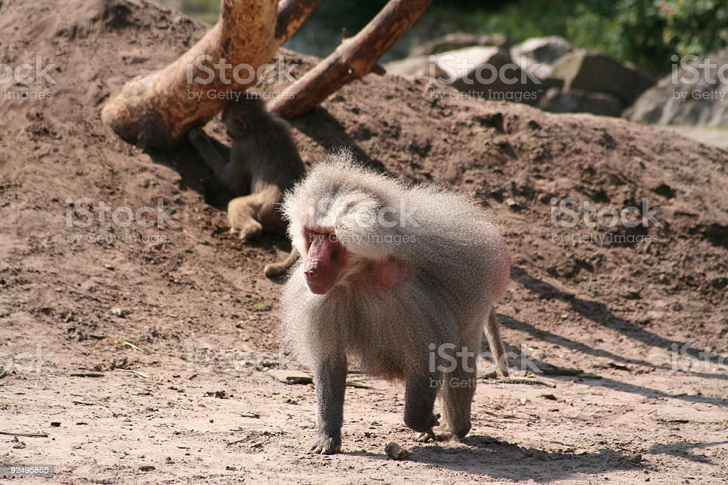 baboon two royalty-free stock photo