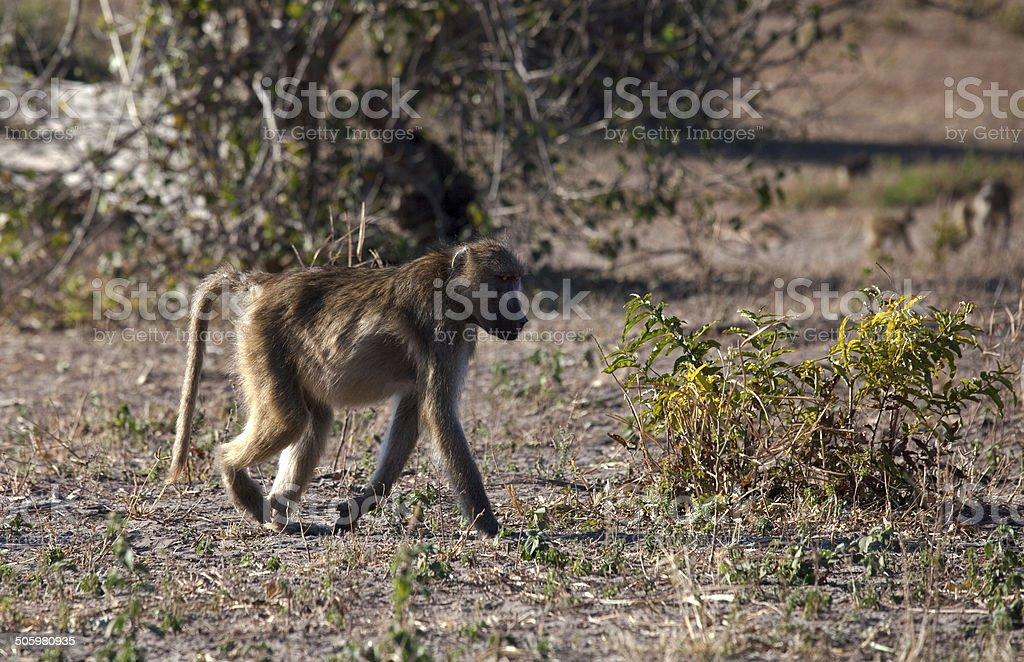 Baboon, walking stock photo