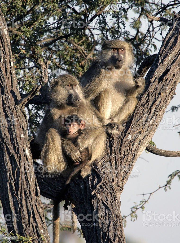 Baboons und baby in einem Baum – Foto