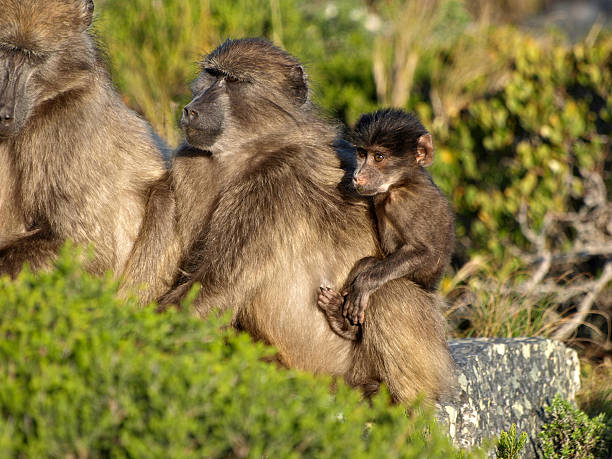 Baboon's family stock photo