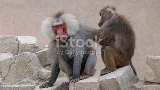 Female baboon is grooming a male baboon