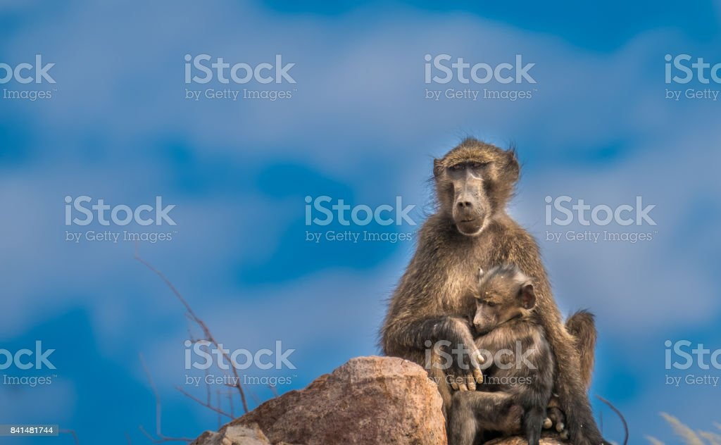 Baboons in the Twyfelfontein (uncertain spring, jumping waterhole),a site of ancient rock engravings in the Kunene Region of Namibia. stock photo