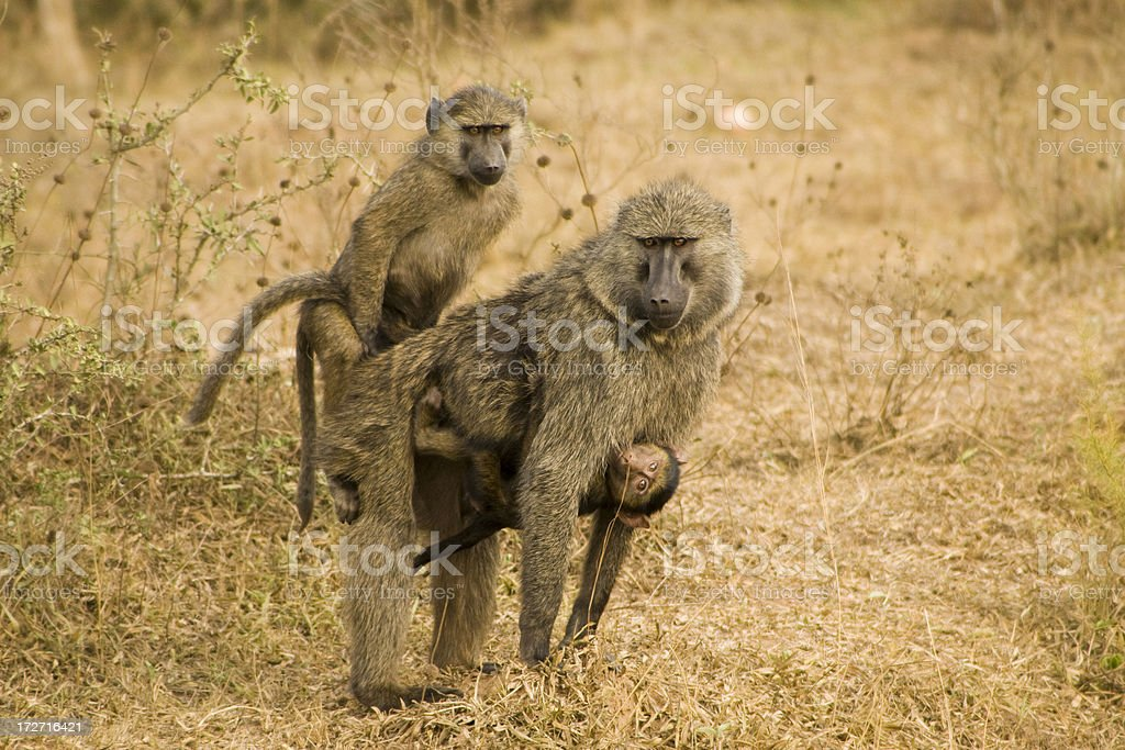 Baboons in the wild royalty-free stock photo