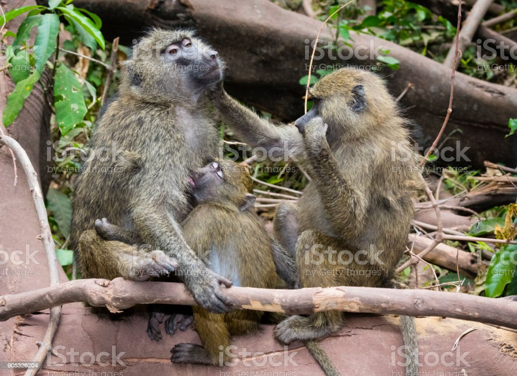 Baboons, loving family scene, mother feeding her baby, Tanzania, Africa, Lake Manyara stock photo