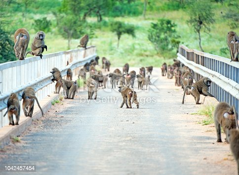 Troop of wild Baboons walking across road bridge of Samburu National Reserve - a wildlife game reserve for wild animals safari on the banks of the Ewaso Ng'iro river in Kenya, Africa