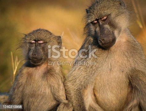 Peaceful Baboons
