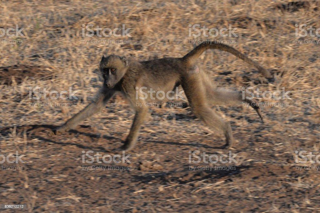 Baboons – Foto