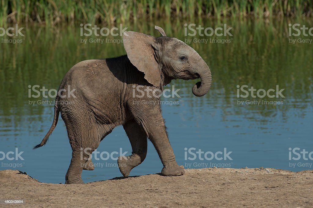 Baby African elephant at waterhole stock photo