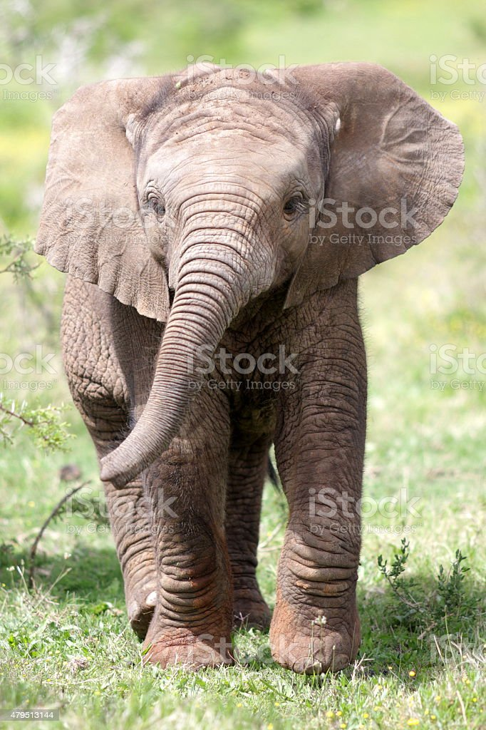 Baby African elephant calf stock photo