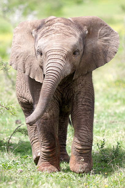 Baby African elephant calf A baby elephant charges and trumpets. I took this wildlife photo on safari in South Africa. elephant calf stock pictures, royalty-free photos & images