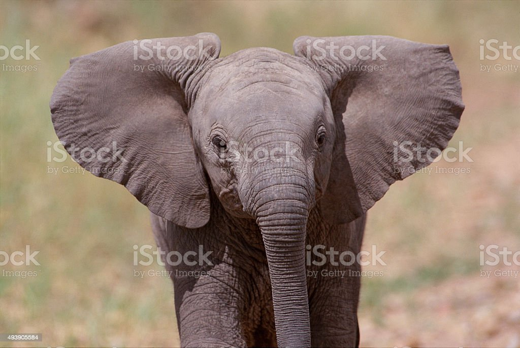 Baby African Elephant Close-Up stock photo