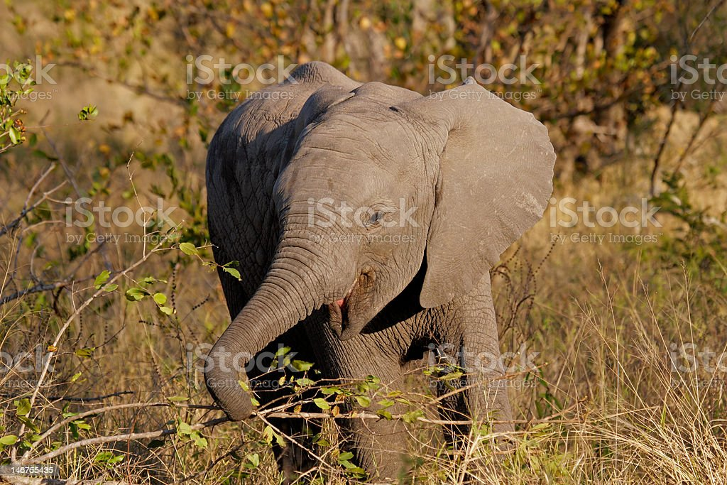 Baby African elephant royalty-free stock photo