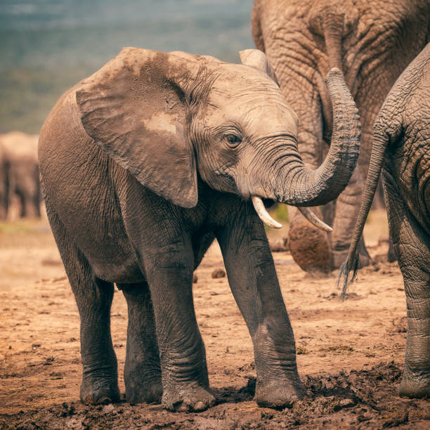 Baby african elephant playing with trunk in Addo National Park, South Africa stock photo