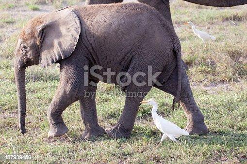 182061384 istock photo Baby African elephant walking 487939456