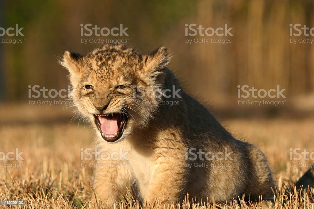 Baby African Lion Roaring stock photo
