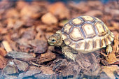 African spurred tortoise - young animal.